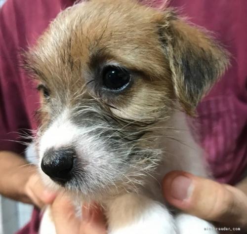 ジャックラッセルテリアの子犬(ID:1233911085)の4枚目の写真/更新日:2017-05-09