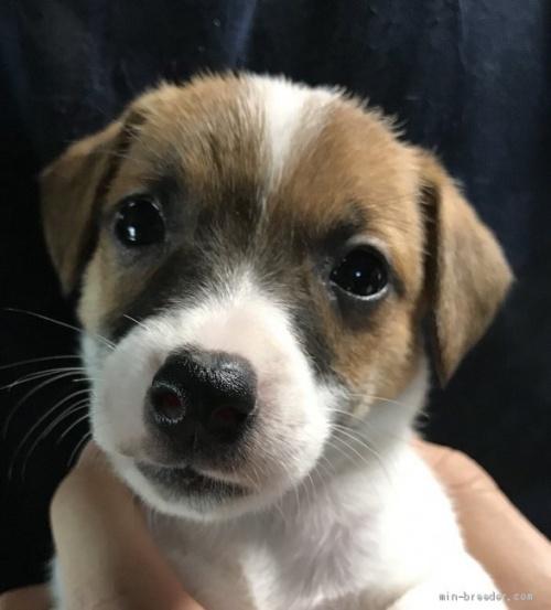 ジャックラッセルテリアの子犬(ID:1233911086)の1枚目の写真/更新日:2017-05-09