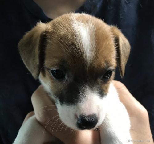 ジャックラッセルテリアの子犬(ID:1233911086)の2枚目の写真/更新日:2017-05-09