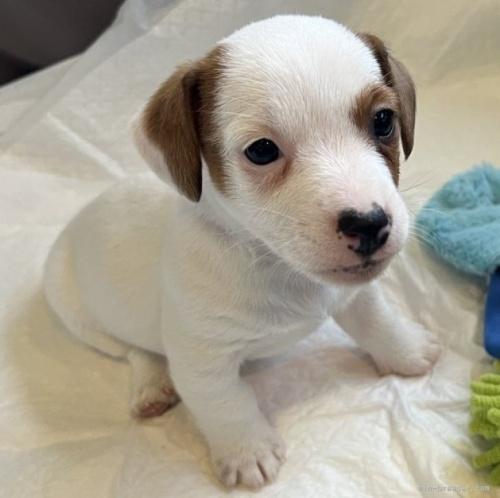 ジャックラッセルテリアの子犬(ID:1233911087)の1枚目の写真/更新日:2017-06-09