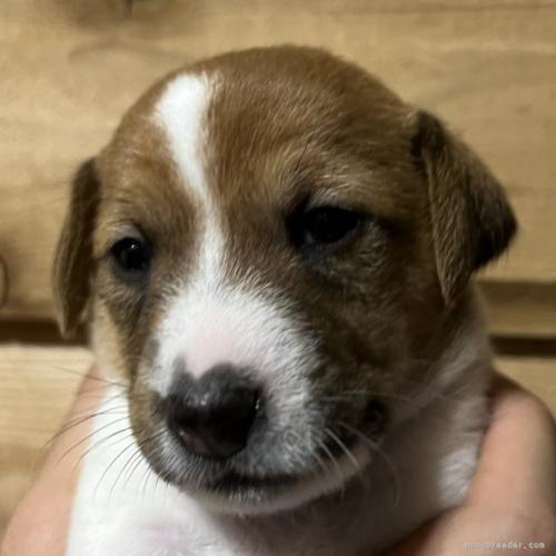 ジャックラッセルテリアの子犬(ID:1233911109)の1枚目の写真/更新日:2018-03-09