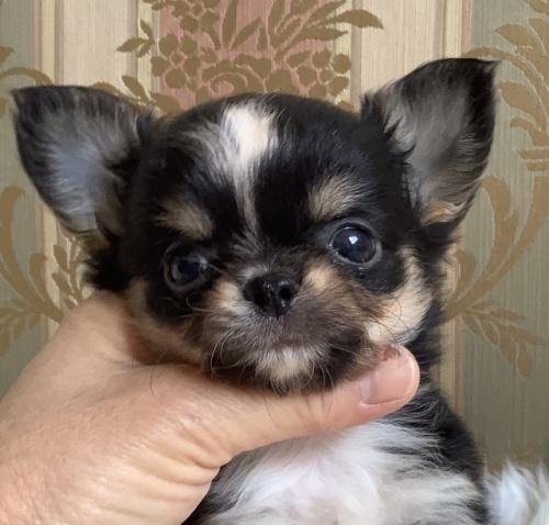 チワワ(ロング)の子犬(ID:1234011006)の1枚目の写真/更新日:2021-04-09