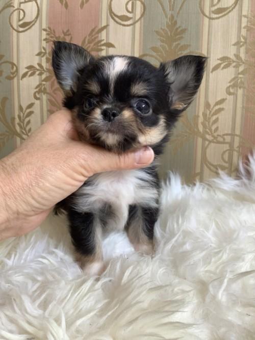 チワワ(ロング)の子犬(ID:1234011006)の2枚目の写真/更新日:2021-04-09