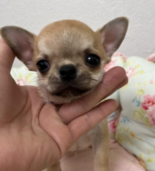チワワ(スムース)の子犬(ID:1234011007)の1枚目の写真/更新日:2021-04-29