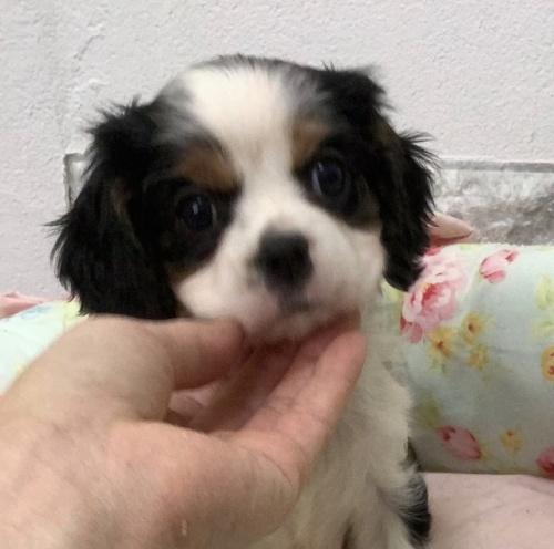 キャバリアの子犬(ID:1234011008)の1枚目の写真/更新日:2021-04-09