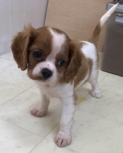 キャバリアの子犬(ID:1234011009)の2枚目の写真/更新日:2018-09-06