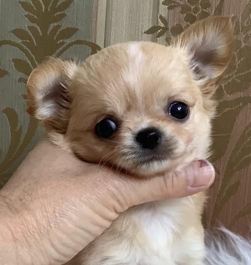 チワワ(ロング)の子犬(ID:1234011018)の1枚目の写真/更新日:2021-04-09