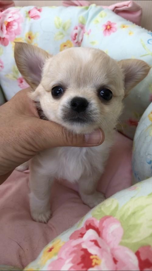 チワワ(ロング)の子犬(ID:1234011022)の1枚目の写真/更新日:2019-05-17