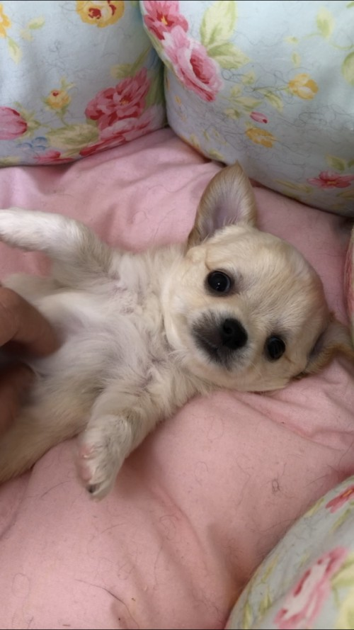 チワワ(ロング)の子犬(ID:1234011022)の2枚目の写真/更新日:2019-05-17