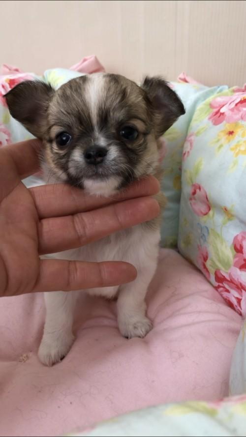 チワワ(ロング)の子犬(ID:1234011024)の1枚目の写真/更新日:2019-05-17