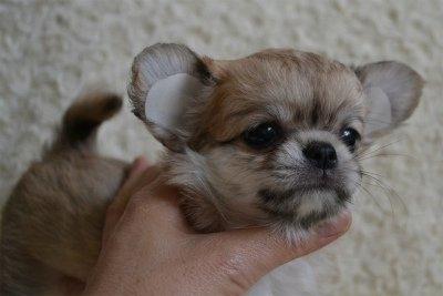 チワワ(ロング)の子犬(ID:1234011024)の2枚目の写真/更新日:2015-08-27