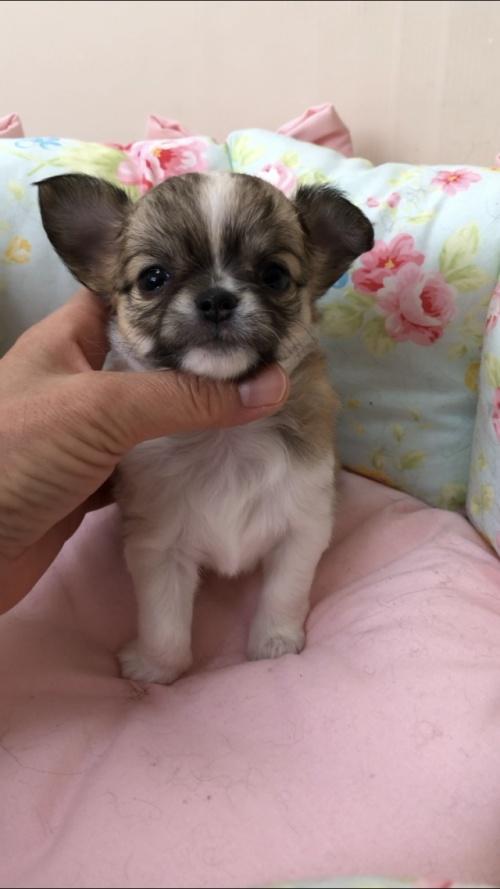 チワワ(ロング)の子犬(ID:1234011024)の3枚目の写真/更新日:2019-05-17