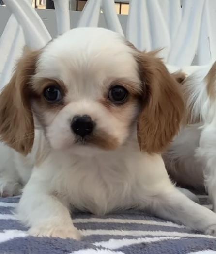 キャバリアの子犬(ID:1234011028)の1枚目の写真/更新日:2019-04-12