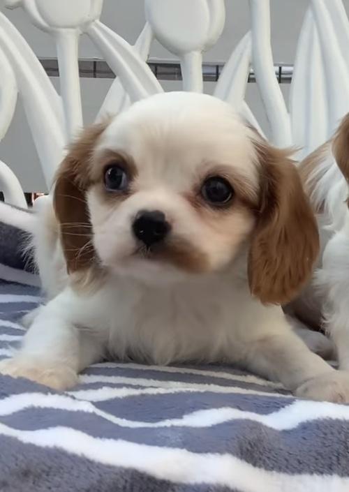 キャバリアの子犬(ID:1234011028)の3枚目の写真/更新日:2021-10-19