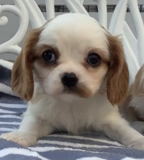 キャバリアの子犬(ID:1234011028)の4枚目の写真/更新日:2021-10-19
