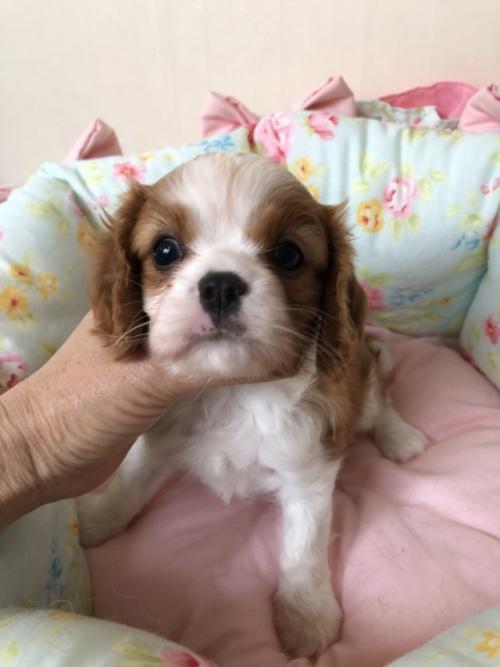 キャバリアの子犬(ID:1234011032)の2枚目の写真/更新日:2019-06-11