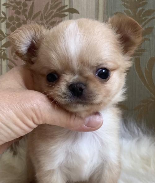 チワワ(ロング)の子犬(ID:1234011041)の1枚目の写真/更新日:2021-04-09