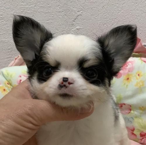チワワ(ロング)の子犬(ID:1234011043)の1枚目の写真/更新日:2021-04-09