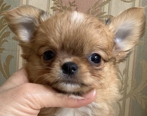 チワワ(ロング)の子犬(ID:1234011044)の1枚目の写真/更新日:2021-04-29