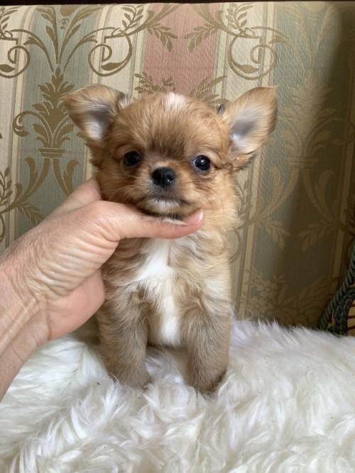 チワワ(ロング)の子犬(ID:1234011044)の2枚目の写真/更新日:2021-04-29