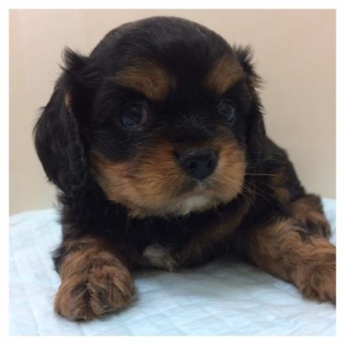 キャバリアの子犬(ID:1234011046)の1枚目の写真/更新日:2017-02-15