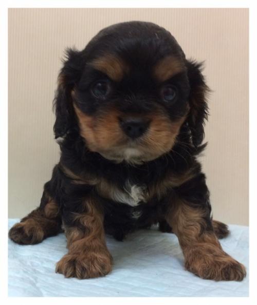 キャバリアの子犬(ID:1234011046)の3枚目の写真/更新日:2017-02-15