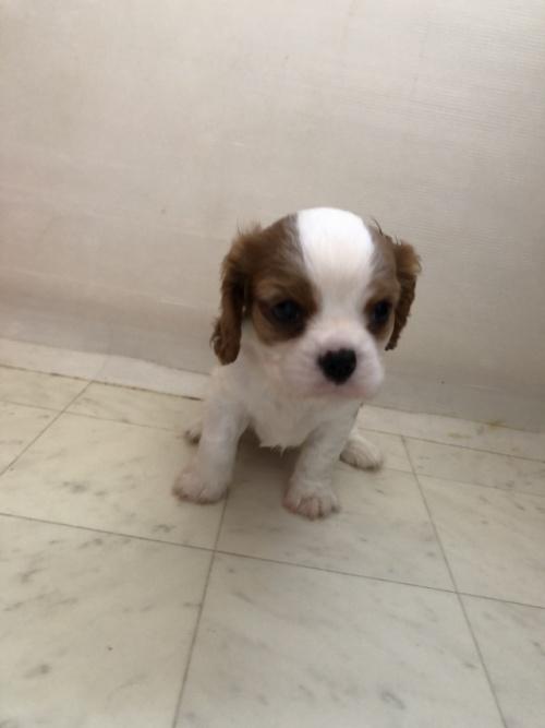 キャバリアの子犬(ID:1234011048)の2枚目の写真/更新日:2017-08-07