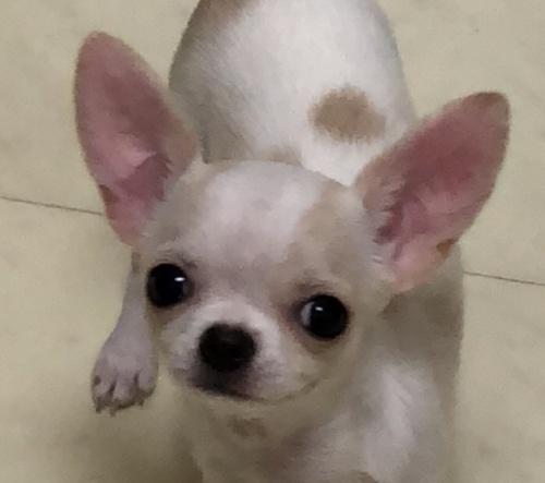 チワワ(スムース)の子犬(ID:1234011052)の1枚目の写真/更新日:2017-11-16