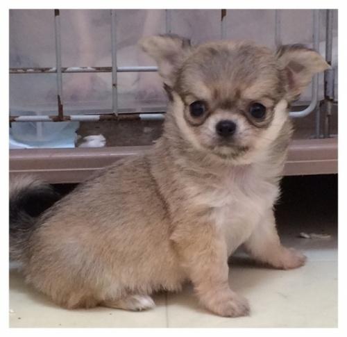 チワワ(ロング)の子犬(ID:1234011053)の2枚目の写真/更新日:2017-11-17
