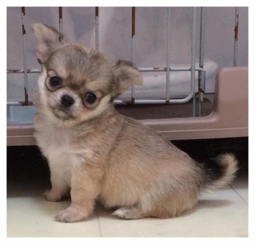チワワ(ロング)の子犬(ID:1234011053)の3枚目の写真/更新日:2017-11-17