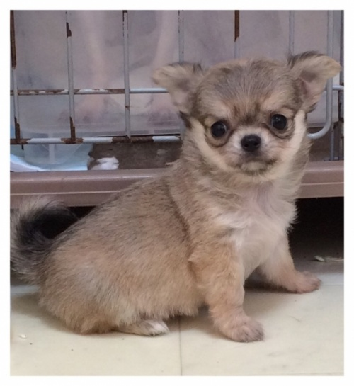 チワワ(ロング)の子犬(ID:1234011053)の4枚目の写真/更新日:2017-11-17