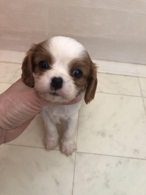 キャバリアの子犬(ID:1234011055)の1枚目の写真/更新日:2017-12-11