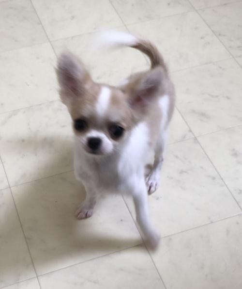 チワワ(ロング)の子犬(ID:1234011057)の1枚目の写真/更新日:2018-03-27
