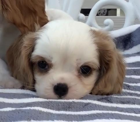 キャバリアの子犬(ID:1234011059)の1枚目の写真/更新日:2021-10-19