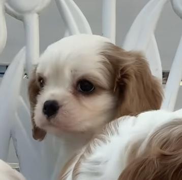 キャバリアの子犬(ID:1234011059)の2枚目の写真/更新日:2021-10-19