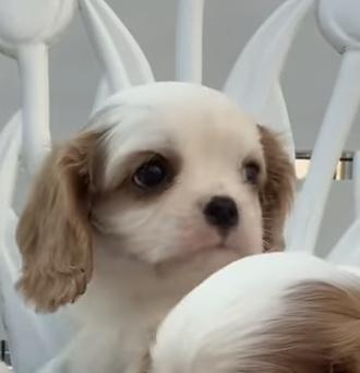 キャバリアの子犬(ID:1234011059)の3枚目の写真/更新日:2021-10-19