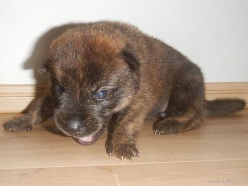甲斐犬の子犬(ID:1234711008)の3枚目の写真/更新日:2021-09-27