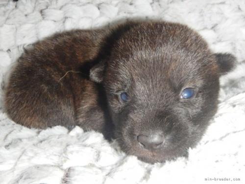 甲斐犬の子犬(ID:1234711014)の2枚目の写真/更新日:2021-08-23