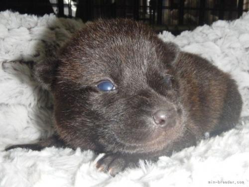 甲斐犬の子犬(ID:1234711014)の4枚目の写真/更新日:2021-08-23