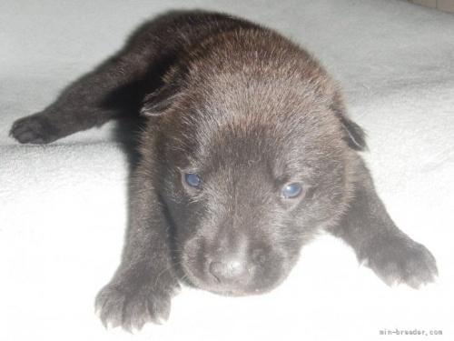 甲斐犬の子犬(ID:1234711027)の1枚目の写真/更新日:2021-08-23