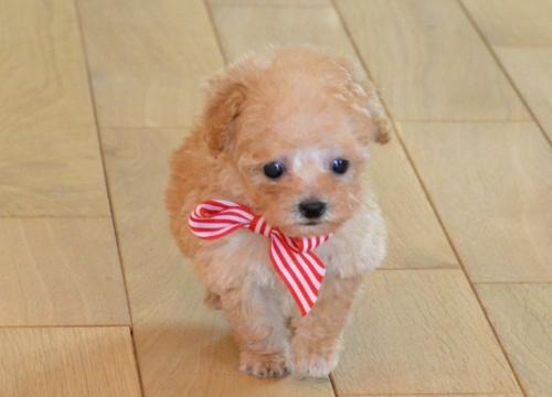 トイプードルの子犬(ID:1234911125)の1枚目の写真/更新日:2018-08-10