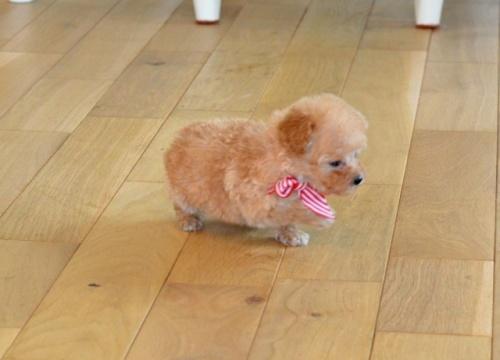 トイプードルの子犬(ID:1234911125)の2枚目の写真/更新日:2018-08-10