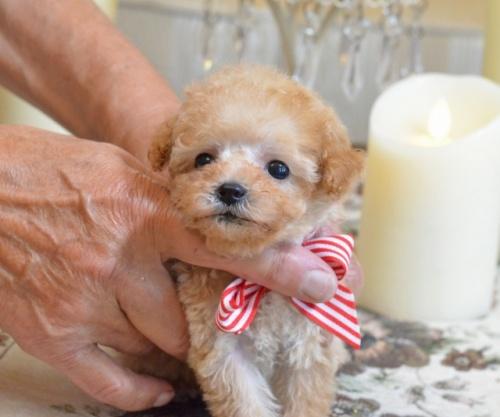 トイプードルの子犬(ID:1234911125)の3枚目の写真/更新日:2018-08-10