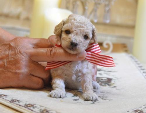 トイプードルの子犬(ID:1234911126)の1枚目の写真/更新日:2018-08-10