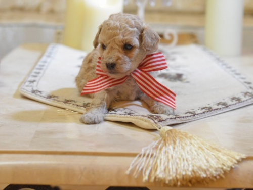 トイプードルの子犬(ID:1234911126)の2枚目の写真/更新日:2018-08-10