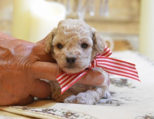 トイプードルの子犬(ID:1234911126)の3枚目の写真/更新日:2018-08-10