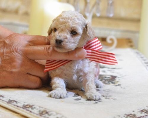 トイプードルの子犬(ID:1234911126)の4枚目の写真/更新日:2018-08-10