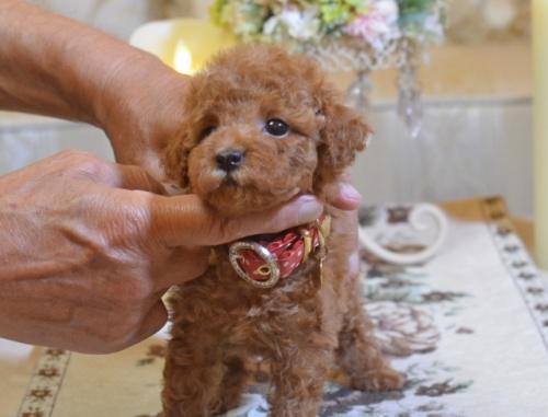 トイプードルの子犬(ID:1234911127)の1枚目の写真/更新日:2018-08-10
