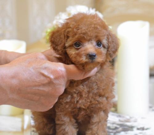 トイプードルの子犬(ID:1234911128)の1枚目の写真/更新日:2018-08-10