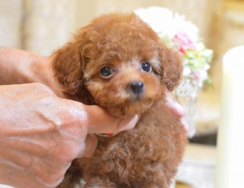 トイプードルの子犬(ID:1234911128)の2枚目の写真/更新日:2018-08-10